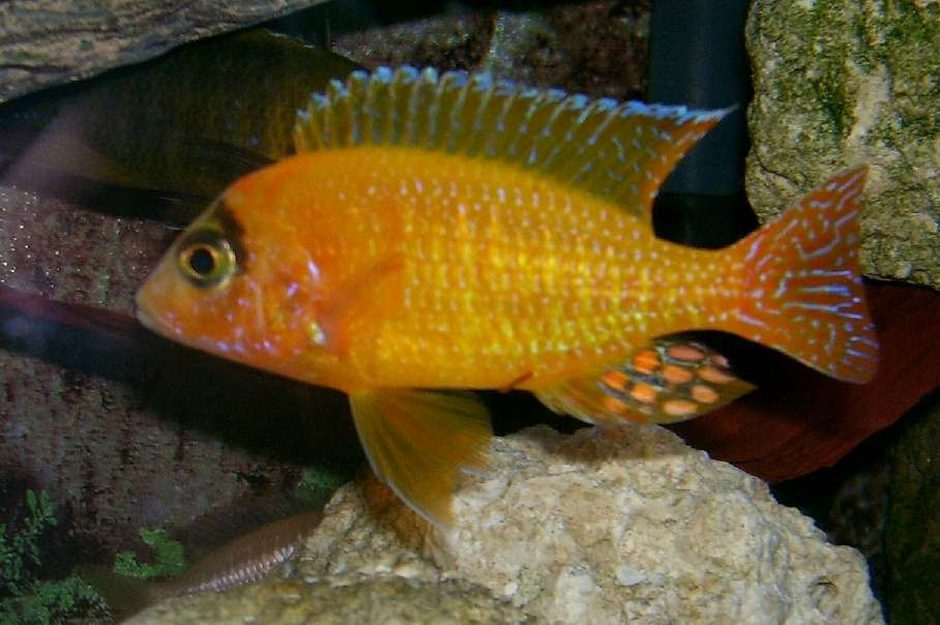 Strawberry Peacock Cichlid (aulonocara sp.) Photos ...