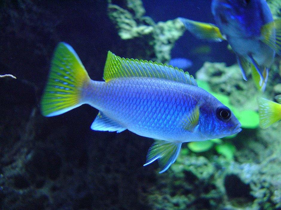 Acei Cichlid (Pseudotropheus Acei) Photo Picture ID 2383