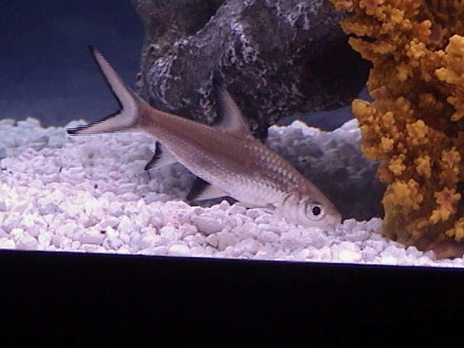 Bala Shark (Balantiocheilus Melanopterus) Photo Picture ID 5357