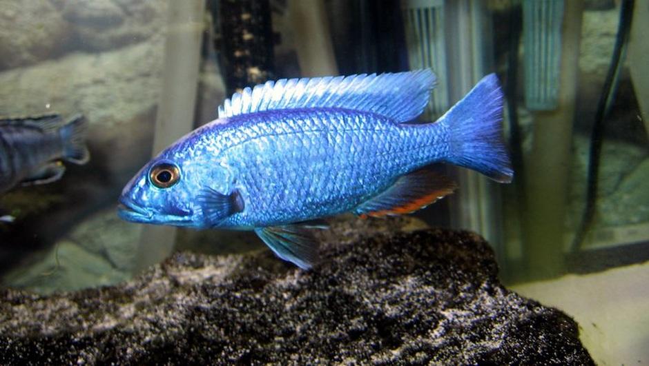 Electric Blue Hap (Sciaenochromis Fryeri) Photo Picture ID 3314