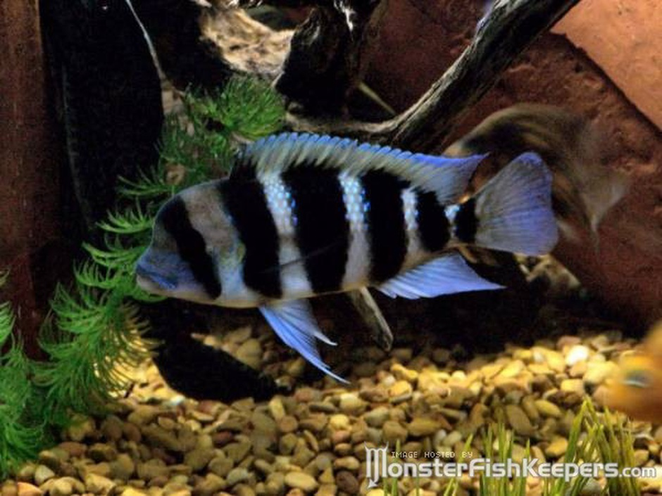 Frontosa Cichlid (Cyphotilapia Frontosa) Photo Picture ID 2021