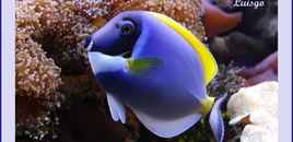 Powder Blue Tang in my 125 gallons reef