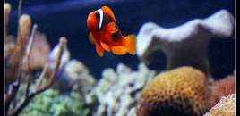Tomato Clown  in my 125 gallons reef