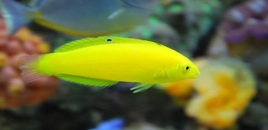 Corise yellow wrasse