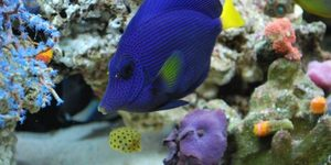 Purple tang We call Prince and mini box fish We call Square pants