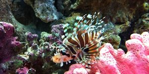 Dwarf Zebra Lionfish  New Addition to the tank 13082011