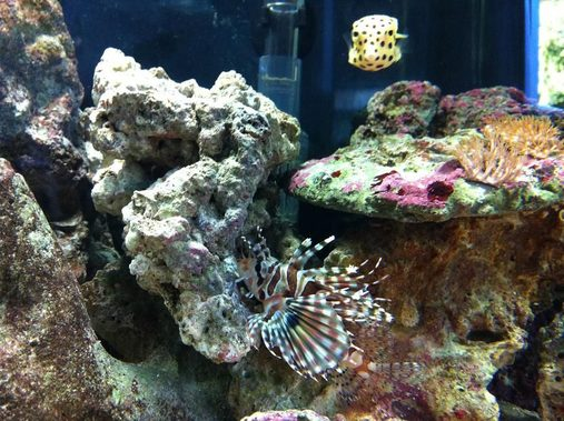 Dotty the Boxfish and Deuce the Lionfish!
