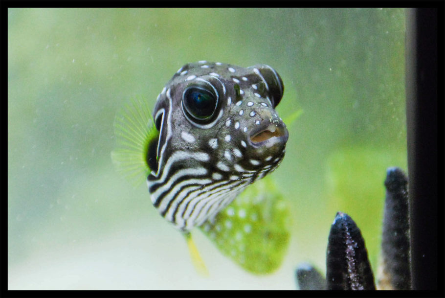 Saltfishies 39 s saltwater fish details and photos photo for Freshwater puffer fish care