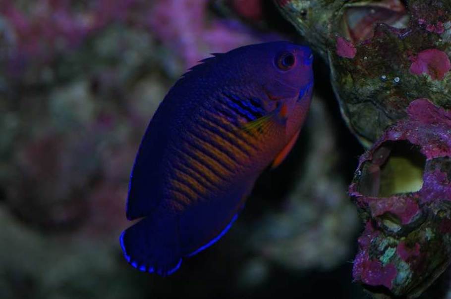 Selecting and Caring for Saltwater Angelfish ...