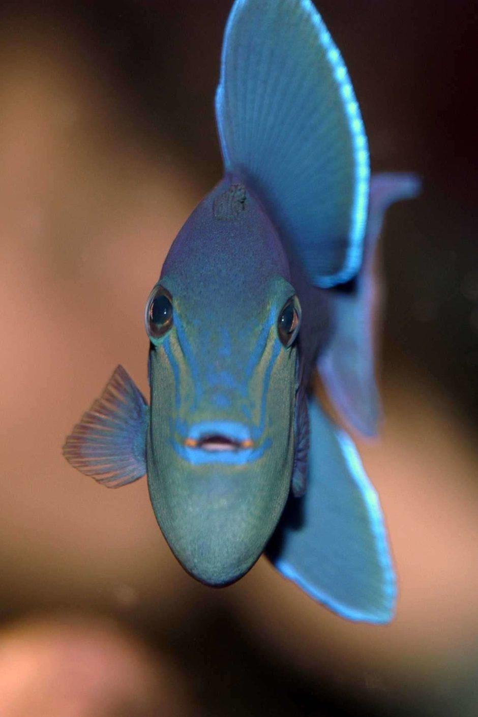 niger triggerfish odonus niger photos ratemyfishtankcom