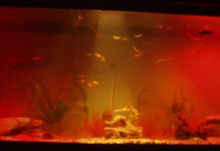 our beautiful fish tank at night only been set up for a month got a lot of fish in there that are going to get a lot bigger lol check the pics out of my fish