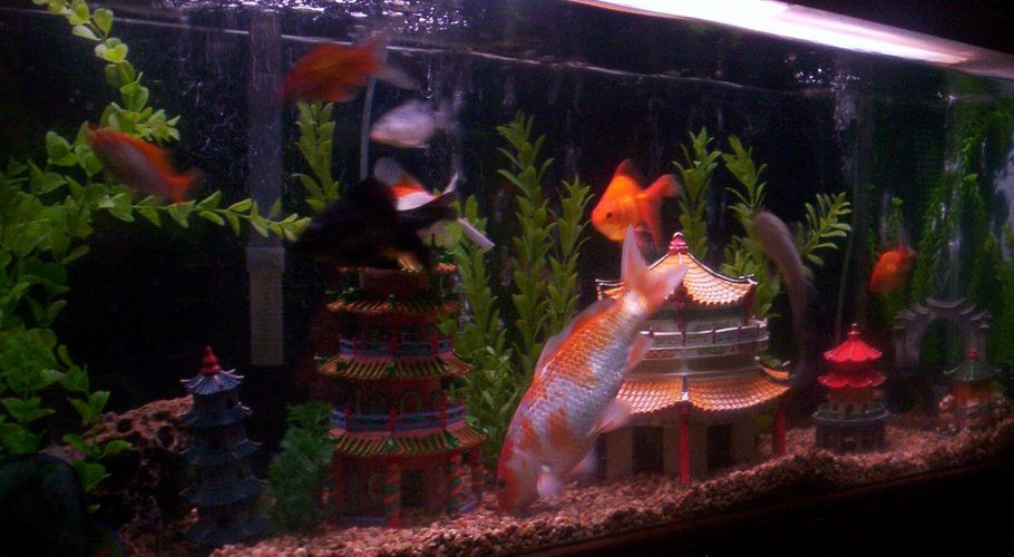 Acez 39 s freshwater tanks photo id 12034 full version for Asian fish tank decorations