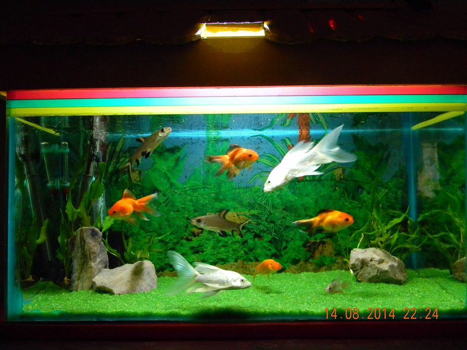 Freshwater tanks details and photos photo for Milky koi fish