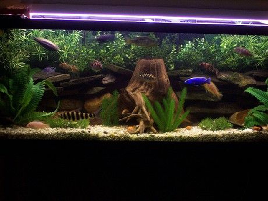55 Gallon Mixed Cichlids,Fake Plants Real  Driftwood And Some Rocks!