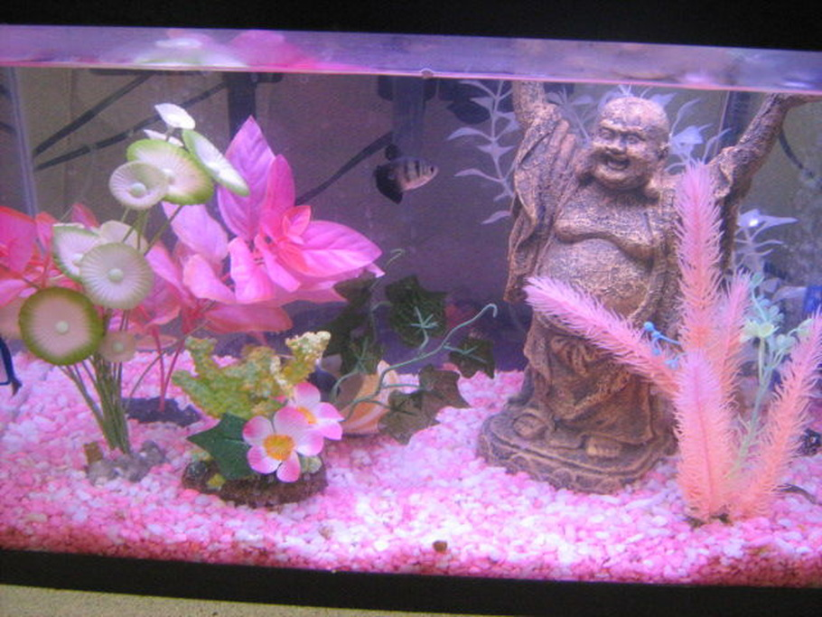Pink betta fish tank