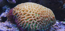 Favia Brain coral in my 125 gallons reef
