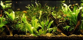 55 Gallon Community Planted Tank Malaysian Driftwood CO2 Angelfish Neon Tetra Sword tails Platties Mollies Gouramis Many Plants LifeGlo2 6700K 40W Millennium 3000 Filter Taken 132009