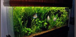 55 gallon planted aquarium with discus fish Fluval 305 4  40w T12 fluorescent tubes 6500K