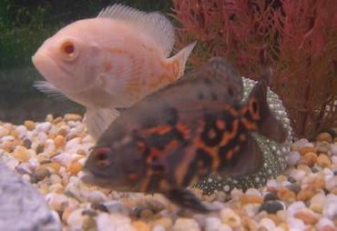 Cichlids are one of the most diverse groups of fish in the world.