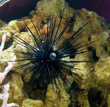 Sea urchins are a great addition to the saltwater tank.