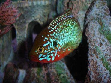 Jewel Cichlid Species Profile