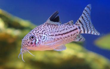 Species Spotlight: New Corydoras Catfish Discovered