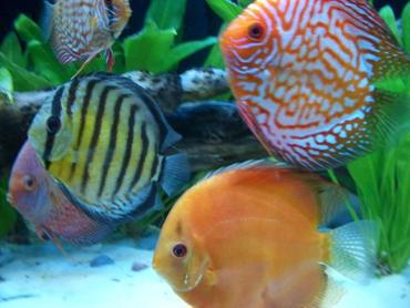 The Bright and Colorful Discus Fish: Spring 2017 Aquarium Trends