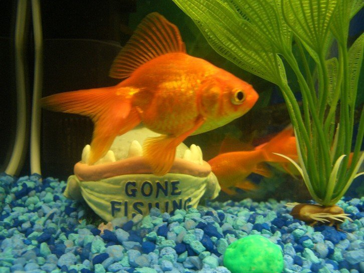 Keeping Goldfish