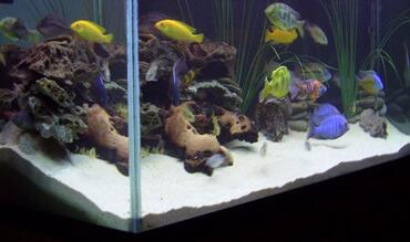 African Cichlid Aggression - How to Reduce Aggression