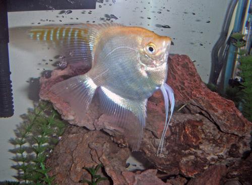 Caring For Freshwater Angelfish Eggs Ratemyfishtank Com,Types Of Shrubs In New England