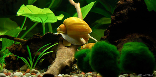 Trumpet Snail Another Good For The Aquarium Is Snails Are Available In A Variety Of Patterns And Colors They