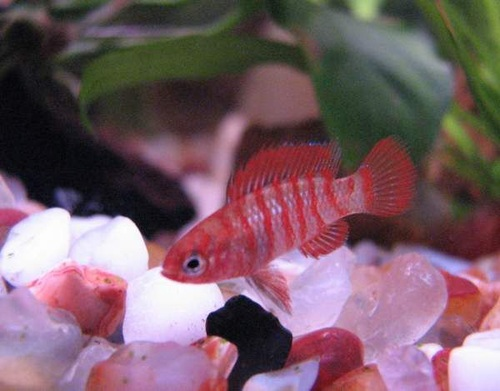 Common freshwater tropical fish diseases for Worms in fish tank