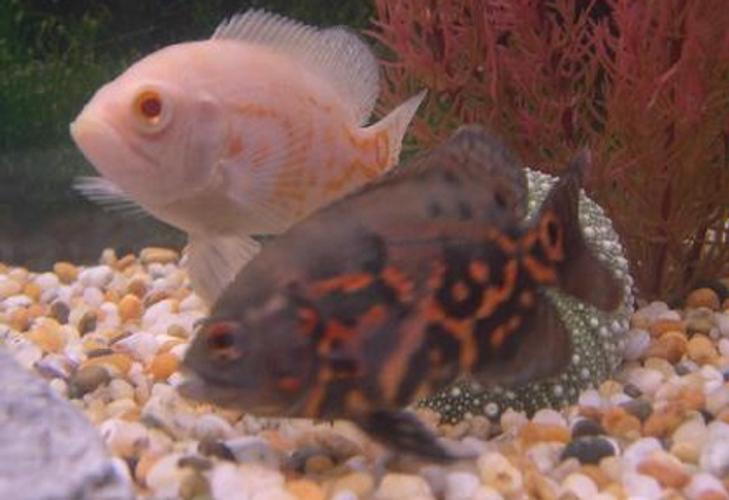 Cichlids - Understanding the Different Types