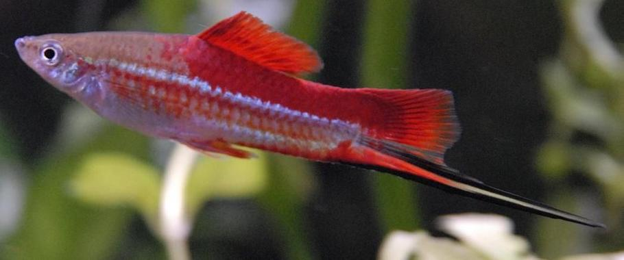 Breeding and Rearing Live-bearing Species of Fish