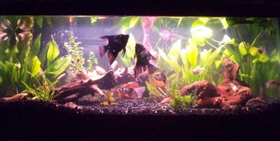 Constipation/Indigestion in Aquarium Fish