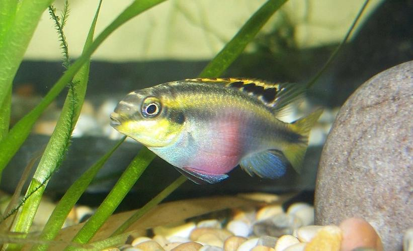 Identifying and treating the most common cichlid diseases for Common freshwater aquarium fish