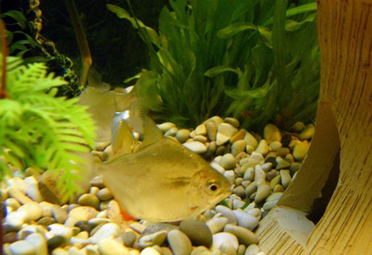Tips for Breeding Silver Dollar Fish