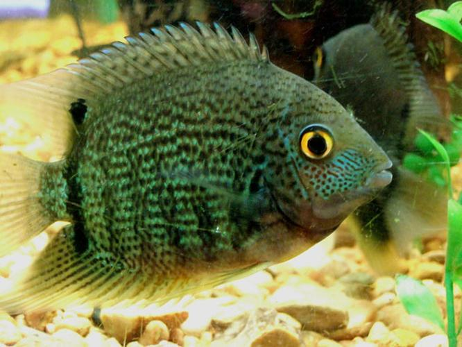 South American Cichlid Species for Beginners