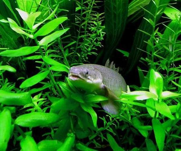 Species Spotlight: Keeping Arowanas in the Freshwater Tank