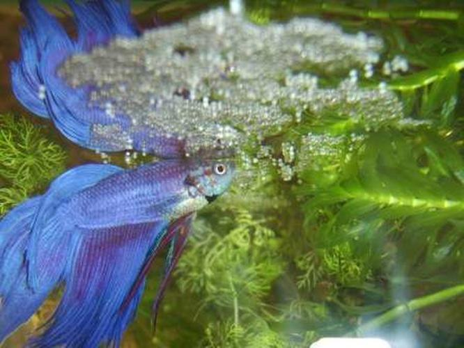 How to Deal with the Top Betta Fish Diseases