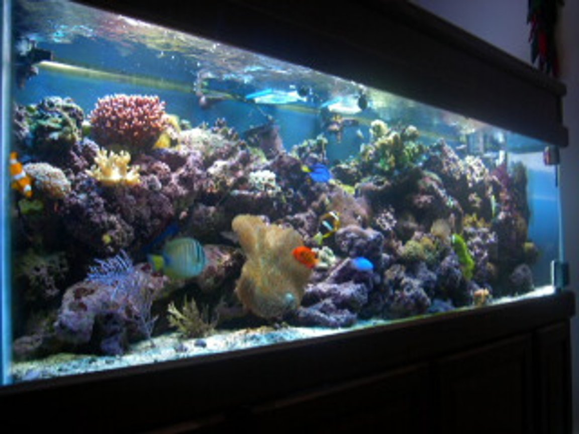 reef tank (mostly live coral and fish) - 125 gallon All Glass Aquarium with matching light oak stand and canopy 3 175 watt Metal Halide 10,000K (UH1-5) Ushio bulbs Metal Halide Assembly- (2) 1 single, 1 double single-(PC) 1 175 watt ballast assmebly: 1.8amp; 1 lamp 216 watt double-(PC) 2 175 watt ballast assembly 120 volt; 1.8amp; 1 lamp; 216watt 2 Power Compact CustomSeaLife Bulbs- (2) 96 watt ultra actinic; twin tube; 10Q base(4 pin); 34overall length; 32.5 bulb only Power Compact Ballast- CustomSeaLife; 2 lamp; 96 watt ballast asembley; 1.45amp; 175 watt; 120 volt Input Pump (Skimmer)- SEN-700GA; 115V/60Hz; 700 gal/h; 13 feet head Output Pump (Return)- CustomSeaLife Velocity T3, model #77830; 800gal/hr, 3 foot head Chiller/UV Pump- Eheim #1048; 158 gal/h; 120v/60Hz Skimmer- E.T.S.S. Evolution 600 UV Sterilizer- Aqua Ultraviolet 25 watt w/ wiper Chiller- ViaAqua model#CC-25; 120volt; 2amp; 1/4 hp Heaters- (2) 300 watt AquaVia titanium heaters Powerheads- (2) powerhead 201 (1) powerhead 802 (1) powerhead 301 Moonlights- Live Rock- 260lbs various types: Caribbean, Tonga, Fiji. Fish: Red Sea Sailfin Tang Pacific Blue Tang Big Longnose Butterflyfish Bicolor Goatfish Flame Angelfish Clark Anemonefish False Percula Anemonefish (2) Maroon Anemonefish Ocellaris Anemonefish (2) Blue Damselfish Yellowtail Blue Damselfish (2) Fire Goby Invertebrates: Brittle Star Turbo Snails Giant Feather Duster Red Legged Hermit Crabs Blue Legged Hermit Crabs Peppermint Shrimp Scarlet Cleaner Shrimp (2) Sand Sifting Star (3) Ricordea Florida Ricordea Yuma Rhodactis cf. mussoides Discosoma carlgreni Mushroom Anemone (red variation) Long Tentacle Anemone Coral: Branching Flowerpot Coral Finger Coral Acropora (birdnest) Hammer Coral Open Brain Coral Trumpet Coral Feather Gorgonian Toadstool Coral Finger Leather Hydnophora pilosa Pipe Organ