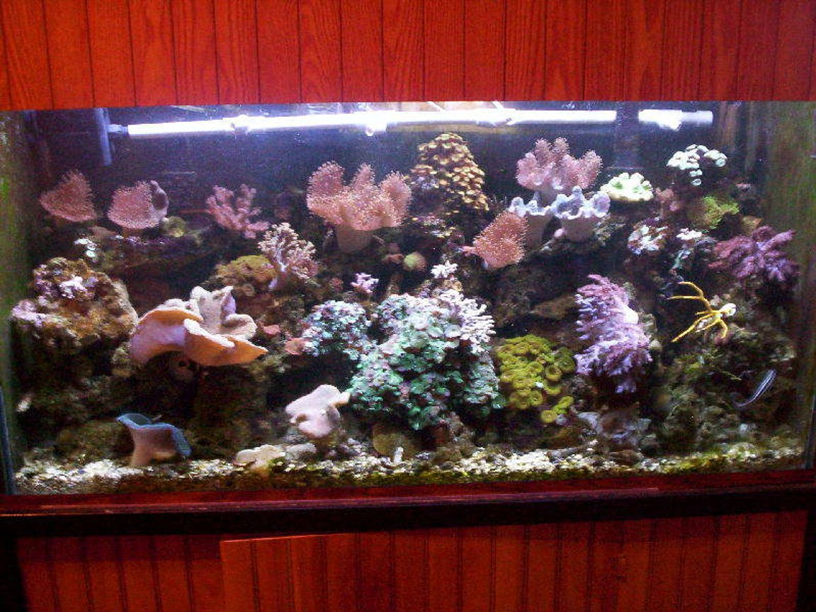 95 gallons reef tank (mostly live coral and fish) - Rude's REEF