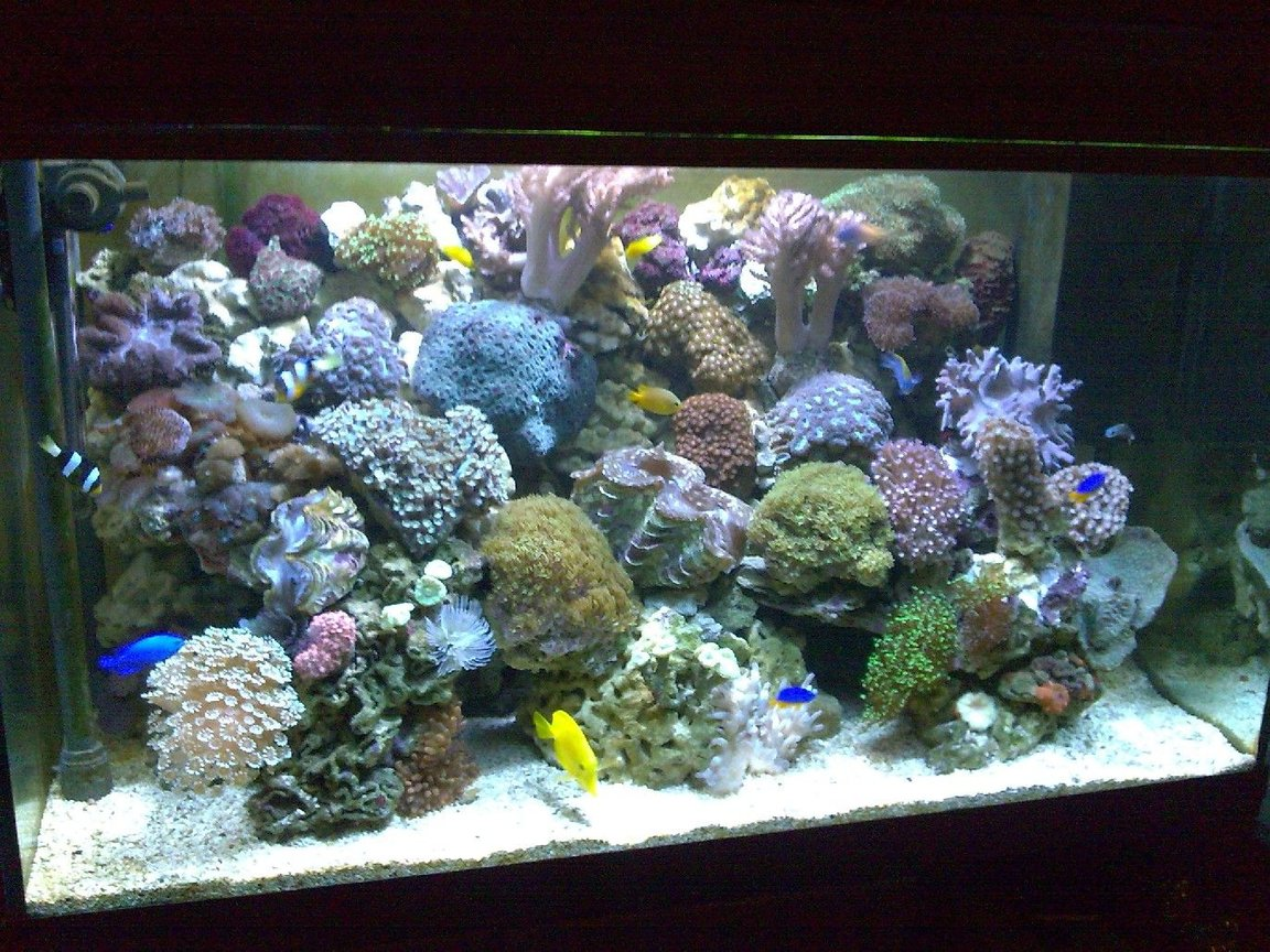 100 gallons reef tank (mostly live coral and fish) - 1