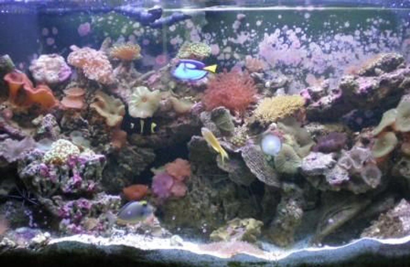 90 gallons reef tank (mostly live coral and fish) - My updates 90 gallon reef Tank