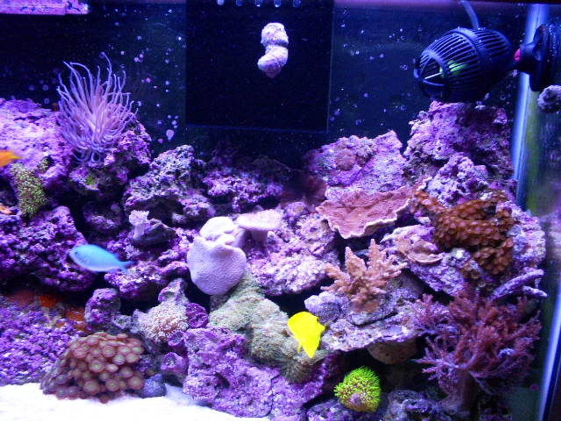 40 gallons reef tank (mostly live coral and fish) - right half
