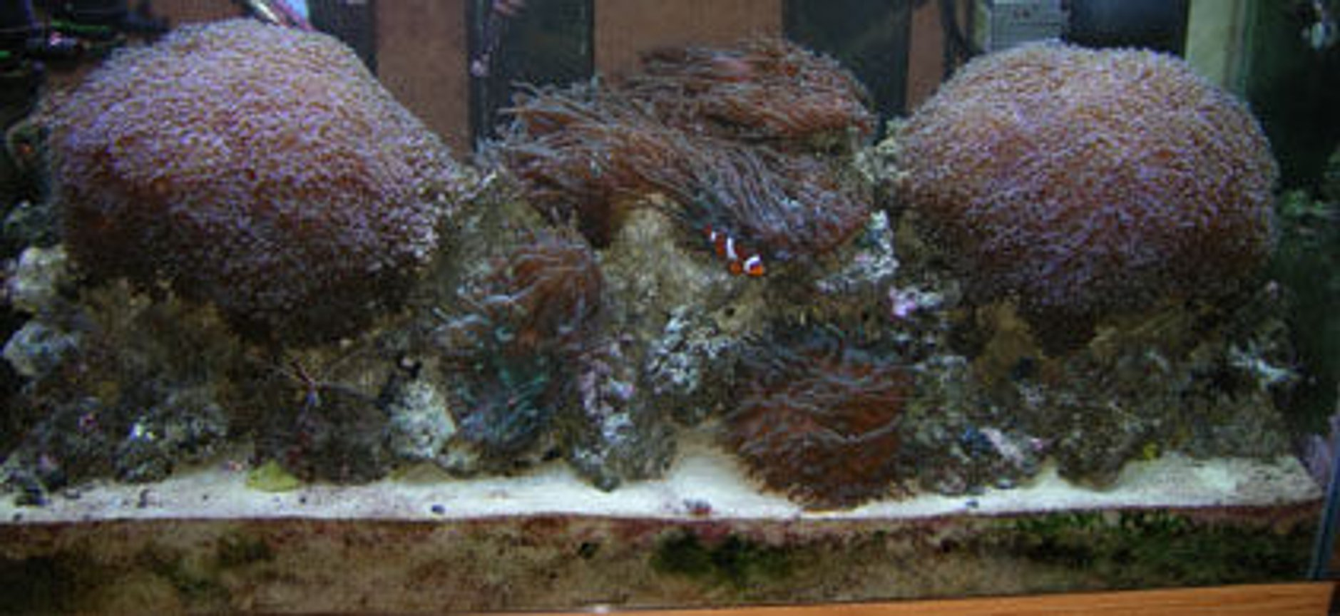 90 gallons reef tank (mostly live coral and fish) - Front Tank Shot