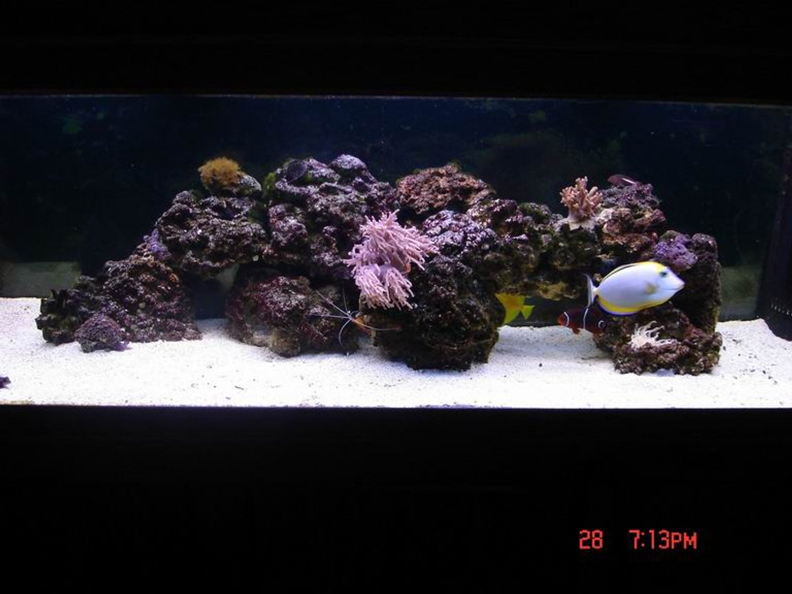 125 gallons reef tank (mostly live coral and fish) - 125 reef with tangs blennies angel fish goby shrimp pair other shrimp and coral