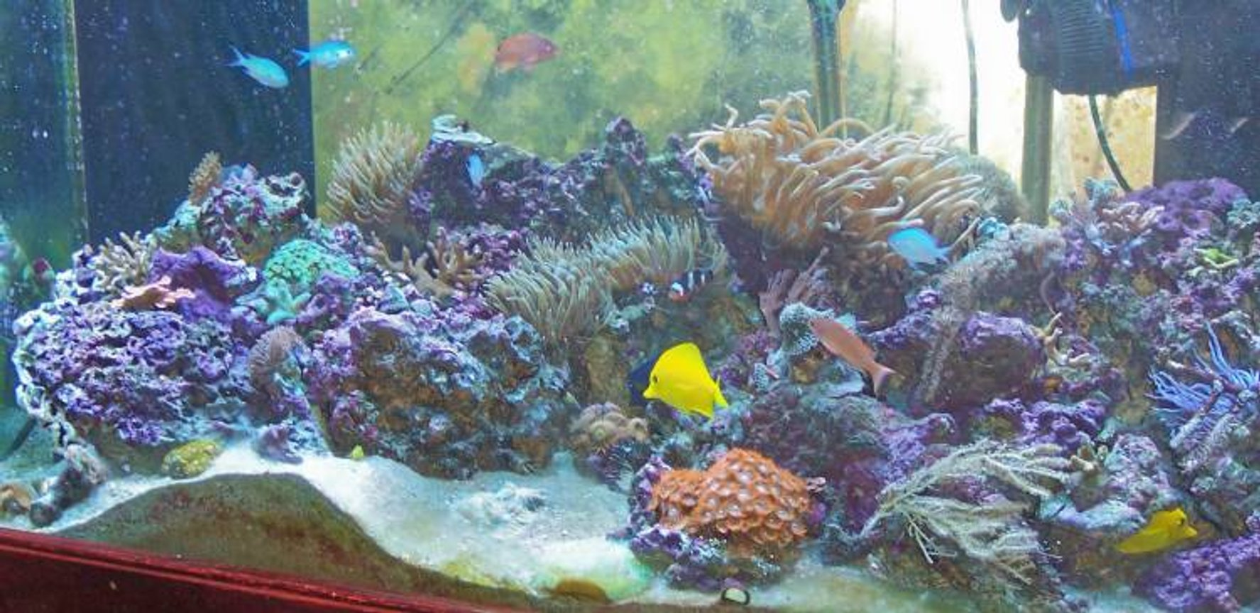 120 gallons reef tank (mostly live coral and fish) - 120 Gallon Indo Pacific Reef biotope