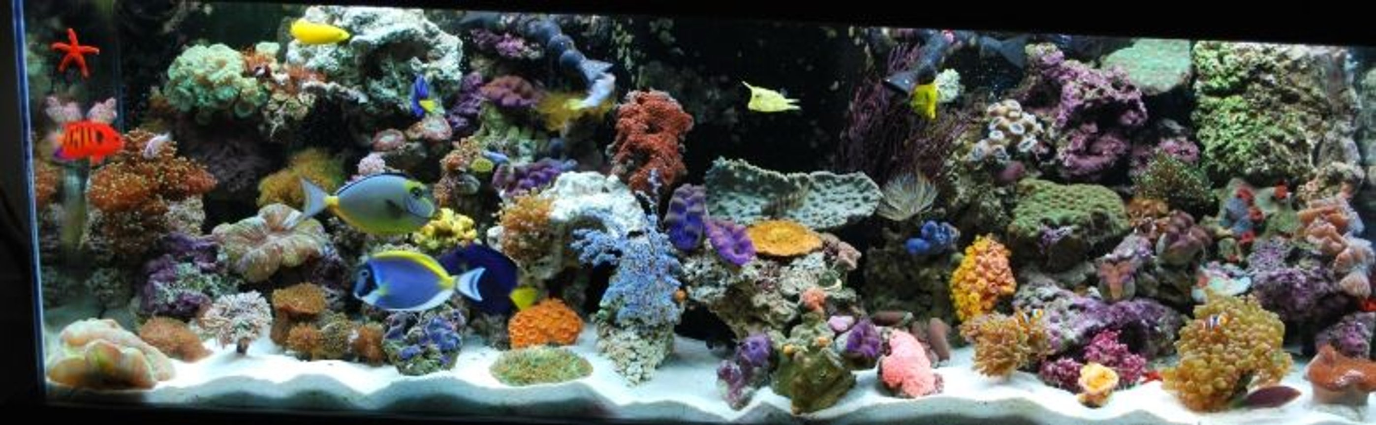 60 gallons reef tank (mostly live coral and fish) - 12/08 - Updated tank picture - with 31 different fish!!! We have added even more fish to our tank - We break all the rules and yet they still live