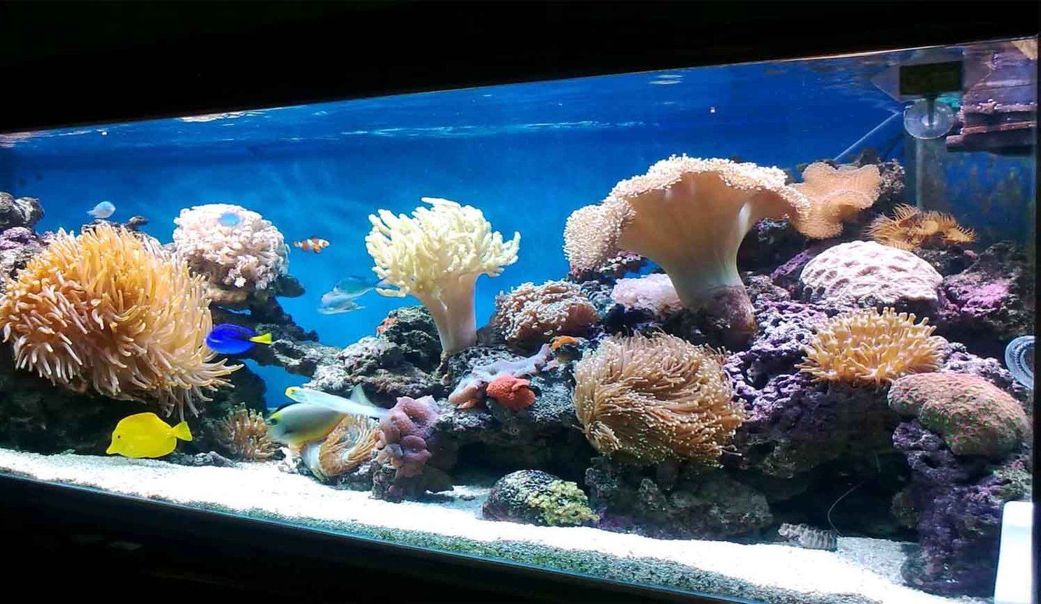 185 gallons reef tank (mostly live coral and fish) - My corals